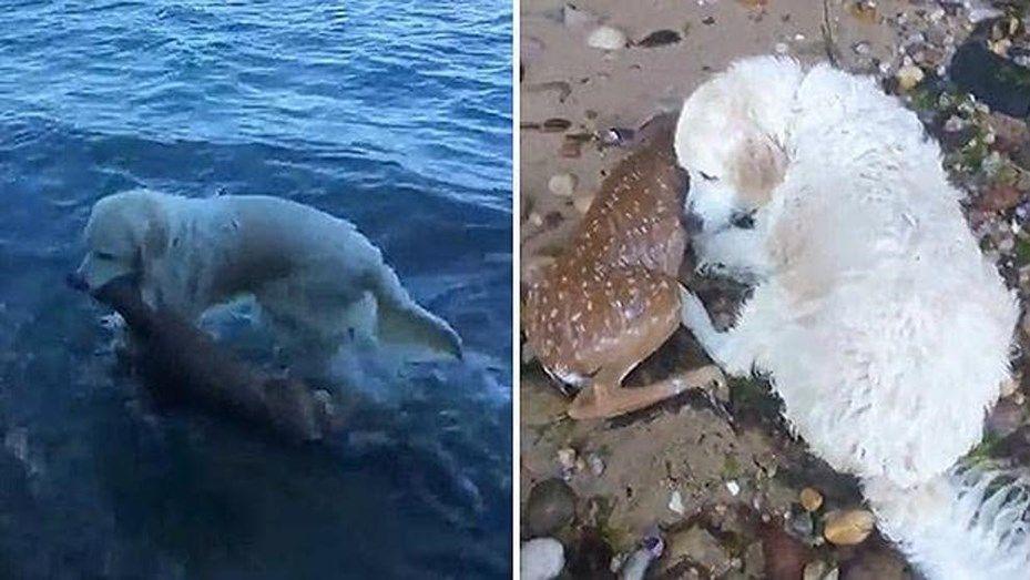 Perro salva a un ciervo de morir ahogado en un lago — YouTube
