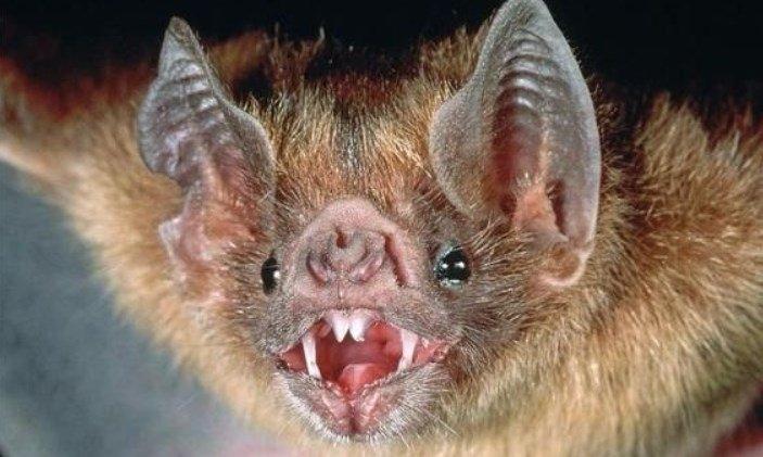 Qué hacer si se encuentran con uno — Murciélagos con rabia