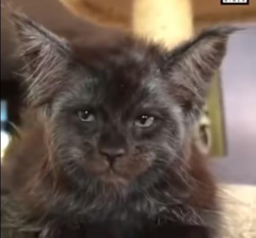 Gato con cara de humano enloquece las redes — Viral