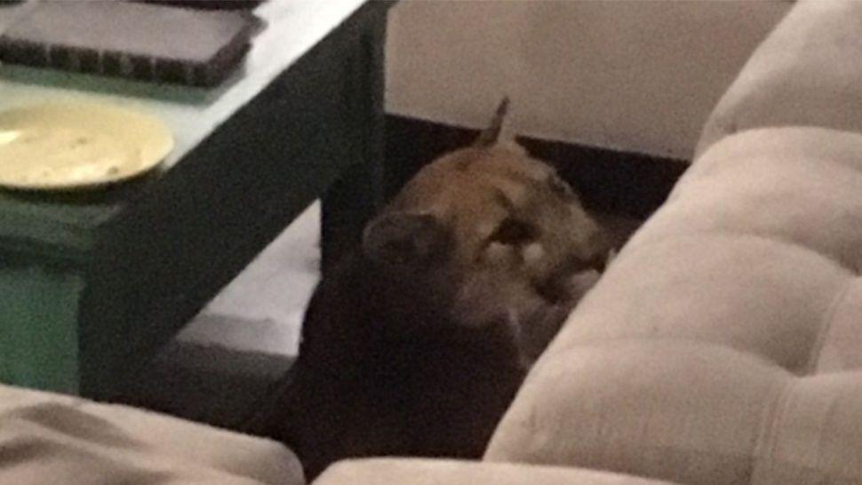 Un puma se mete en una casa y mata al gato doméstico
