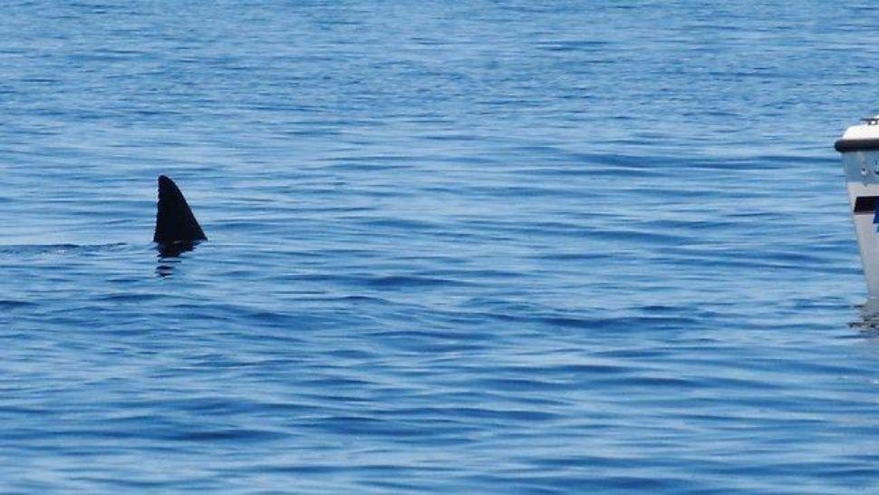 Apareció un tiburón a centímetros de la playa en la costa argentina