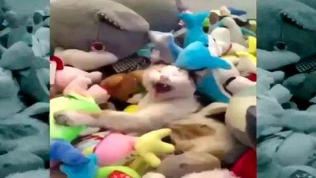 Un gato quedó atrapado en una máquina de peluches