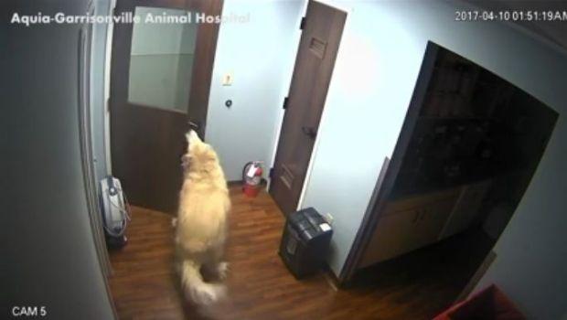 ¡Un genio! un perro abrió 3 puertas para escapar de una veterinaria