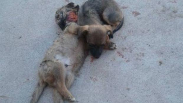 Rivadavia: Un cachorro murió y su hermanita se quedó a dormir a su lado