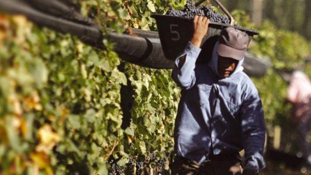 Viñateros calificaron de ásperas las negociones por el precio del kilo de uva con bodegueros