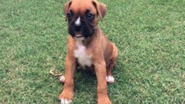 Entraron al fondo de una casa en el barrio Mallea y se robaron el perro boxer
