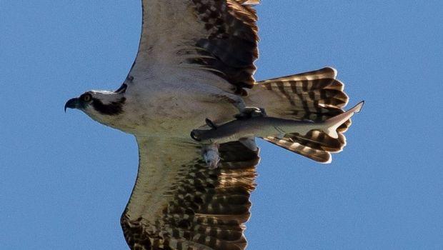 Impactante: un águila cazó a un tiburón
